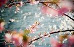 ilkbahar erguvan bogaz cicek agac