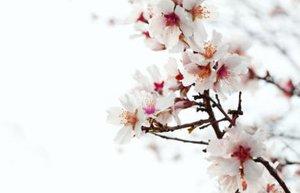 almond flower 400x267