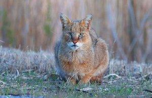 saz kedisi yasami tehdit altinda olan hayvanlar