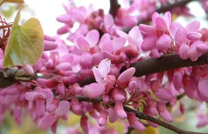erguvan istanbul bahce ilkbahar