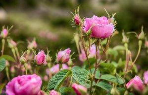 rosa damascena gulsha gul bahcesi