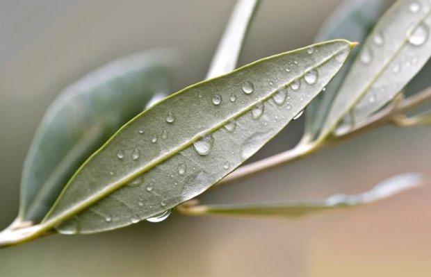 Tatlı krizine karşı pratik çözüm: Zeytin Yaprağı Kürü