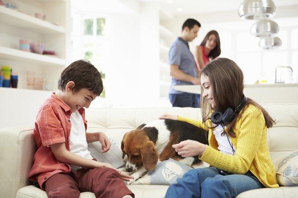 kopek beagle dost hayvan cocuk dost ev uygun aile