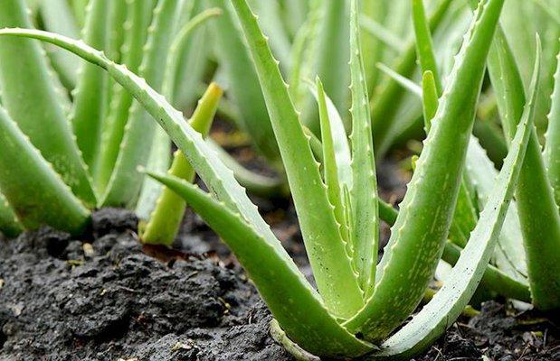 Aloe vera bitkisi nasıl bakılır?